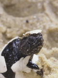 Snapping Turtle Hatching    Chelydra Serpentina