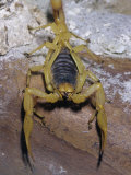 Giant Desert Hairy Scorpion (Hadrurus Arizonensis)  Deserts of the Southwestern USA