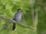 Gray Catbird  Dumetella Carolinensis  Calling  Eastern North America