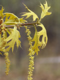 Staminate Catkins and Spring Leaves of a Turkey Oak  Quercus Laevis  Eastern USA