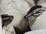 Burmese Python Hatching from Egg  Python Molurus Ceylon