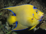 Queen Angelfish  Bermuda to Brazil