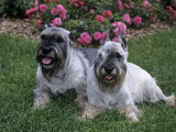 Standard Schnauzer Variety of Domestic Dog