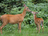 White-Tailed Fawn Nipping Mother&#39;s Nose
