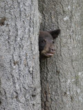 Black Bear Cub Peeking from Behind Tree