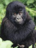 Baby Mountain Gorilla  Gorilla Gorilla Beringei  Volcano National Park  Rwanda  Africa