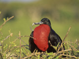 Male Great Frigatebird Displaying  Fregata Minor  Genovesa Island  Galapagos Islands