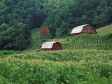 Tobacco Field and a Pair of Red Barns Near Taylorsville  North Carolina  USA