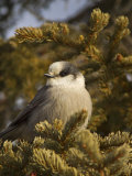 Gray Jay  Perisoreus Canadensis  North America