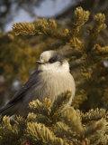 Gray Jay  Perisoreus Canadensis  North America