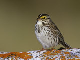 Savannah Sparrow  Passerculus Sandwichensis  North America