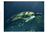 Aegean Sea Turtles I