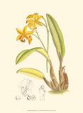 Orchid Plenty IV