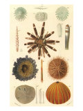 Variety of Sea Urchins  1849
