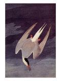 An Artic Tern  1833
