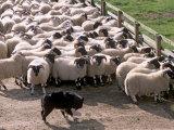 Sheepdog and Sheep  Pentland Hills Near Edinburgh  Lothian  Scotland  United Kingdom  Europe