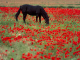 Black Horse in a Poppy Field  Chianti  Tuscany  Italy  Europe