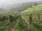Vineyards Near Serralunga D'Alba  Piedmont  Italy  Europe