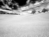 Infrared Images of Two Trees in Field of Oil Seed Rape  Near Pienza  Tuscany  Italy  Europe