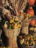 Indian Ornamental Corn and Gourds The Hamptons  Long Island  New York State  USA