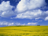 Rape Field and Blue Sky with White Clouds