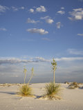 Yucca Plants on a Dune  White Sands National Monument  New Mexico  USA