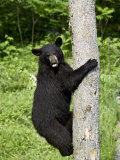 Black Bear Climbing a Tree  in Captivity  Sandstone  Minnesota  USA