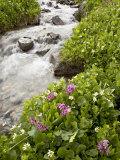 Stream Through Marsh Marigold or Elk's Lip and Parry's Primrose  American Basin  Colorado  USA