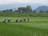 Line of People Planting Rice  Working the Rice Fields Near Madurai  Tamil Nadu  India