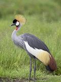 Grey Crowned Crane  Serengeti National Park  Tanzania  East Africa