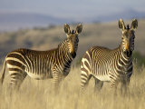 Cape Mountain Zebra  Mountain Zebra National Park  South Africa  Africa