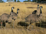 Emus at an Emu Farm Near Rutherglen in the Northeast of the State  Victoria  Australia  Pacific