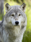 Gray Wolf  in Captivity  Sandstone  Minnesota  USA