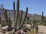 Cactus Plants  Arizona  United States of America  North America