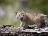Baby Siberian Lynx or Eurasian Lynx in Captivity  Animals of Montana  Bozeman  Montana  USA