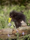 Baby Porcupine in Captivity  Animals of Montana  Bozeman  Montana  USA