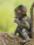 Olive Baboon Infant Riding on its Mother's Back  Serengeti National Park  Tanzania  East Africa