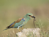 European Roller with a Worm  Serengeti National Park  Tanzania  East Africa