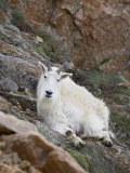 Mountain Goat  Mount Evans  Colorado  United States of America  North America