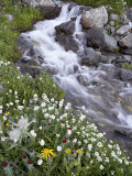 Stream Through Wildflowers  American Basin  Uncompahgre National Forest  Colorado  USA