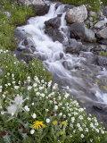 Stream Through Wildflowers  American Basin  Uncompahgre National Forest  Colorado  USA