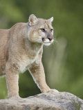 Mountain Lion or Cougar  in Captivity  Sandstone  Minnesota  USA
