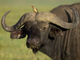 Cape Buffalo with a Red-Billed Oxpecker  Ngorongoro Conservation Area  Tanzania East Africa Africa