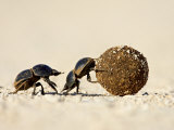 Two Dung Beetles Rolling a Dung Ball  Addo Elephant National Park  South Africa  Africa