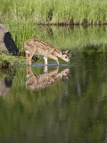 Captive Whitetail Deer Fawn and Reflection  Sandstone  Minnesota  USA