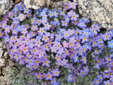 Alpine Forget-Me-Not  Mount Evans  Colorado  USA