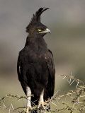 Long-Crested Eagle  Samburu National Reserve  Kenya  East Africa  Africa