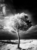 Infra Red Image of a Tree Against Dark Evening Sky  Near Pienza  Tuscany  Italy  Europe