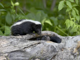 Striped Skunk Baby on Log with Adult in Log  in Captivity  Sandstone  Minnesota  USA