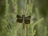 Widow Dragonfly or Widow Damselfly Perched  Boyd Lake State Park  Colorado  USA